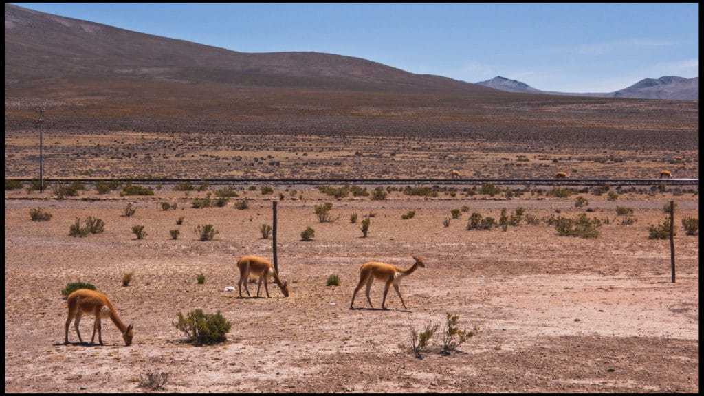 Vicunas in the Colca Canyon