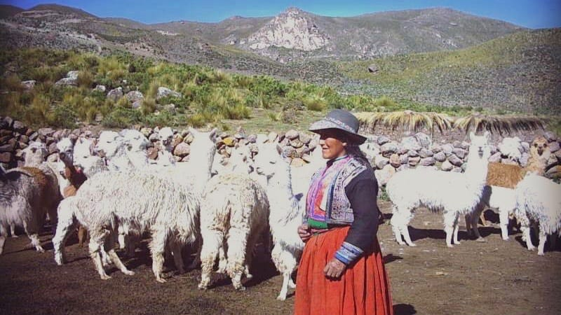 shearing alpaca wool in Colca Valley