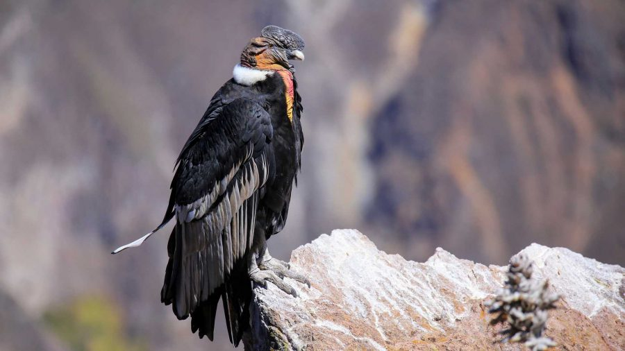 Close up of an Andean Condor
