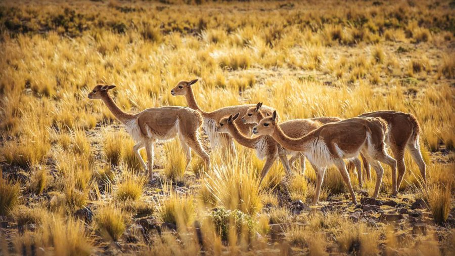 Spotting Vicunas along the Colca Canyon Trek