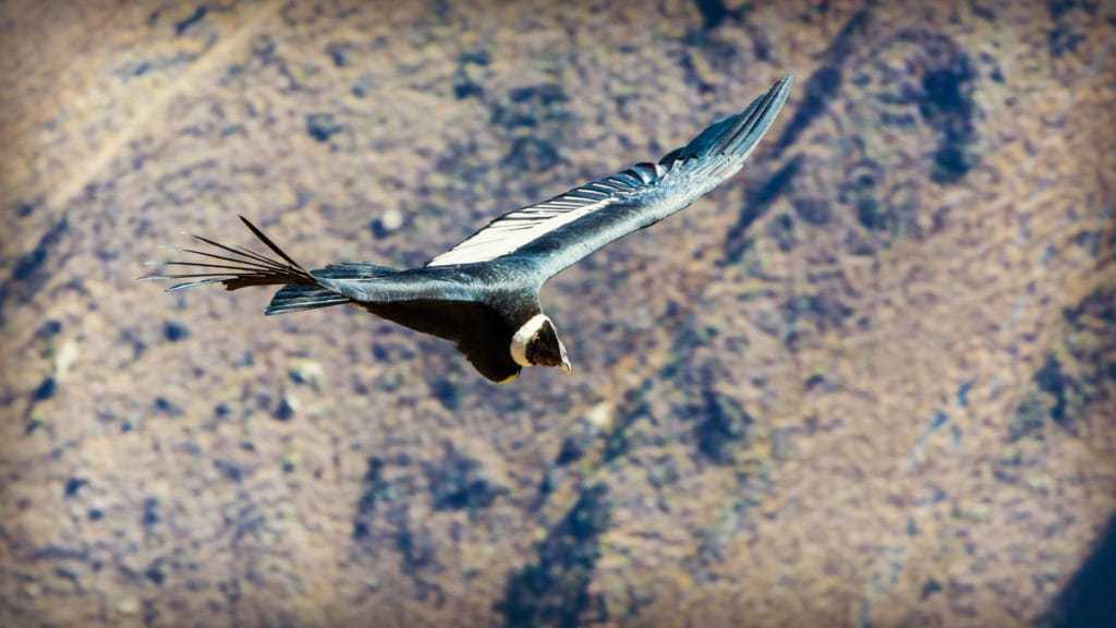 Soaring condor on the Colca Canyon Trek