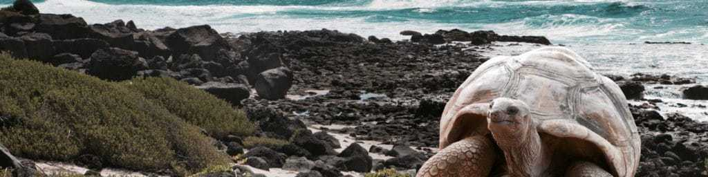 Galapagos Islands tourism - Giant tortoise by the seaside.