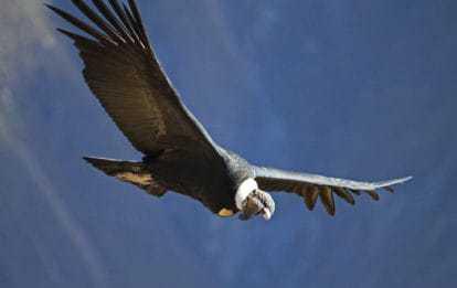 Colca Canyon trek - Andean condor.