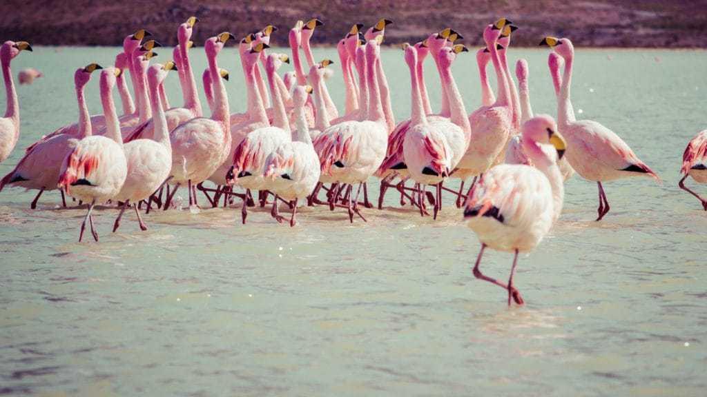 Flamingos at Laguna Hedionda -Tour Uyuni 3days