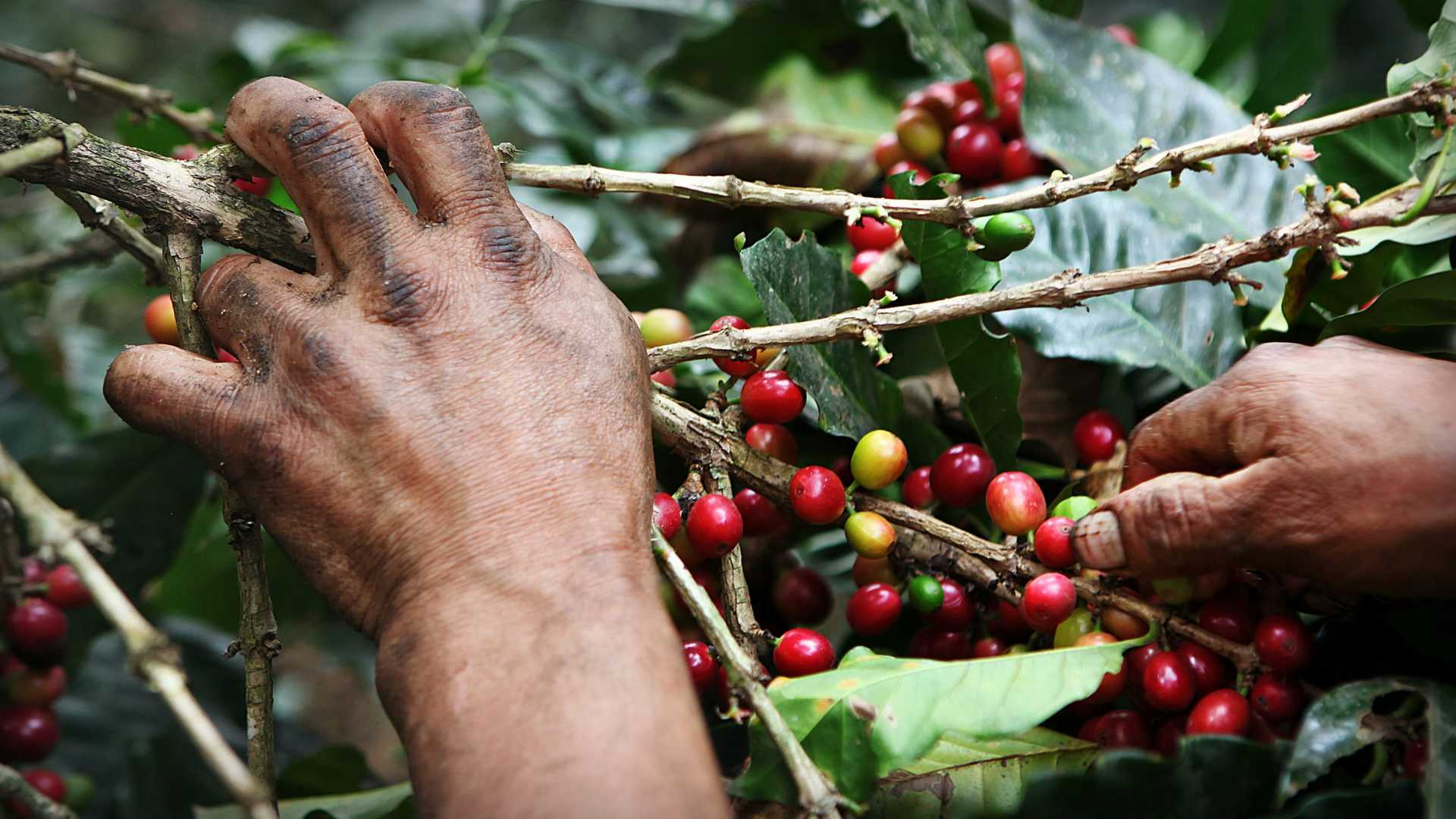 Picking Coffee Beans along Inca Jungle Trail