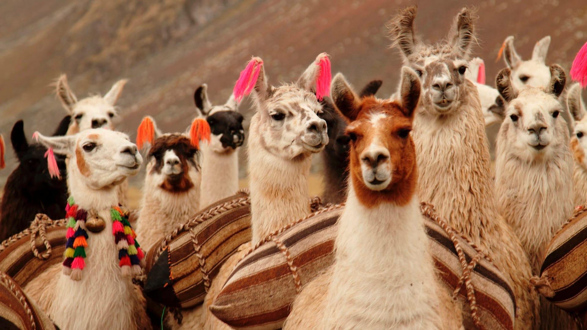 llama caravan trek in Peru