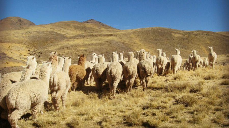 Llamas in Sibayo- Colca Valley