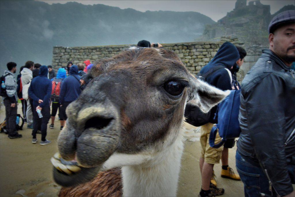 Meet Llamas at Machu Picchu