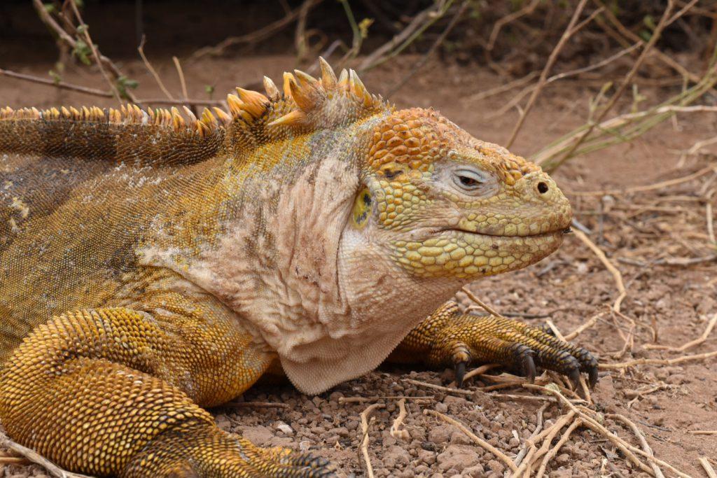 Galapagos Islands tourism - Land iguana.