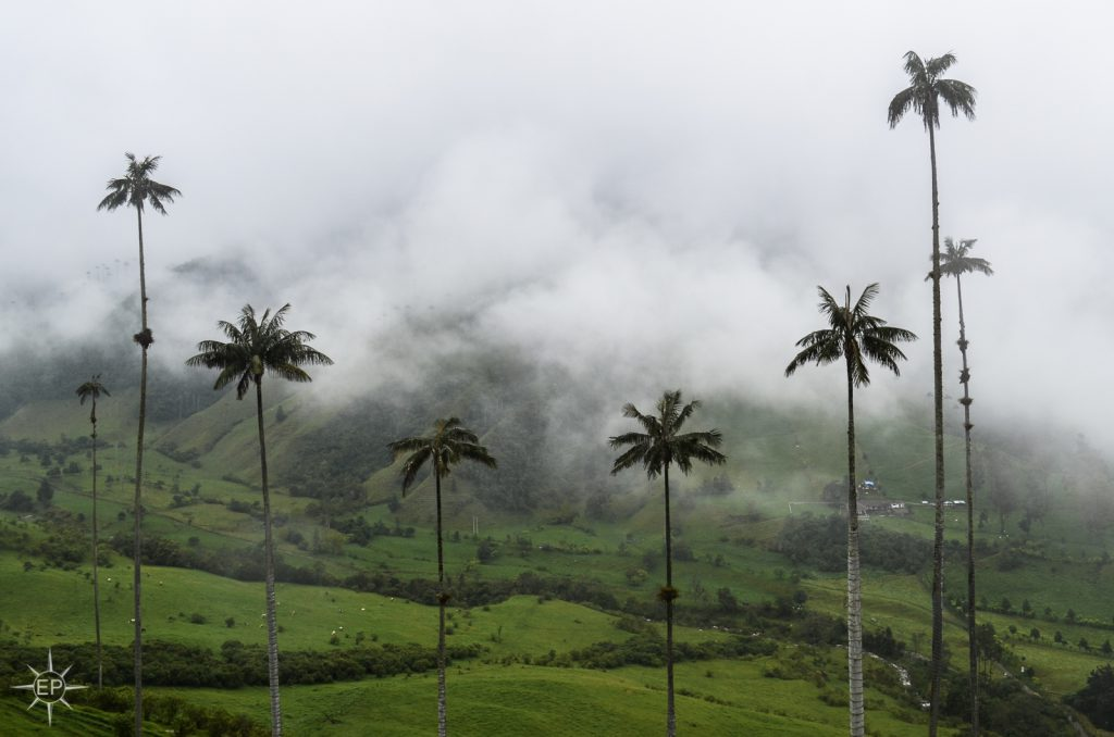 Colombia travel guide - Towering palm trees of Cocora Valley.