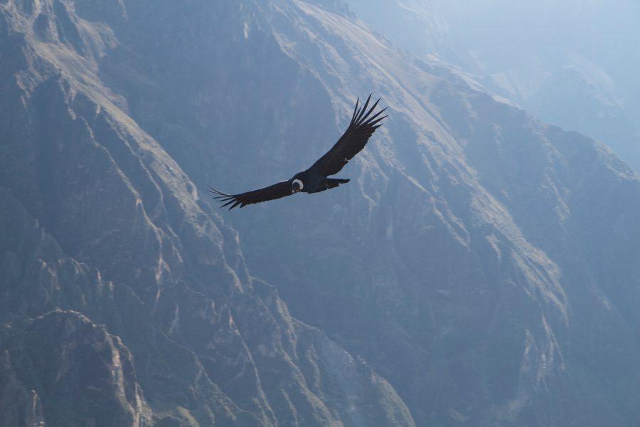 Condor- Colca Canyon - Arequipa
