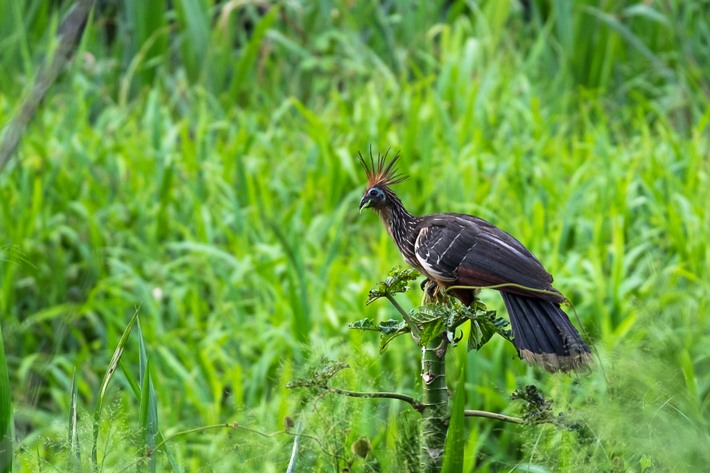 Ecuador vacation - crested Amazon bird, the hoatzin.