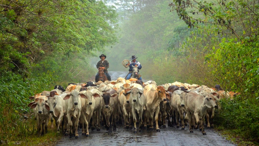 Ecuador Cruise Train - Andean farmers with a herd of cattle.