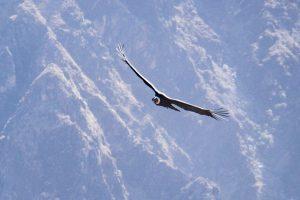 Colca Canyon trek - La Granja del Colca condor flying past.