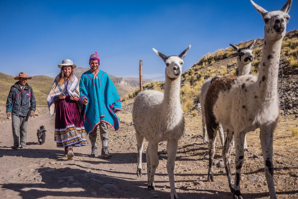 Homestay tours in Colca Canyon - Tourists walking with llamas.