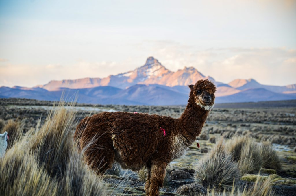 Bolivia Salt Flats -Sajama National Park with Llamas
