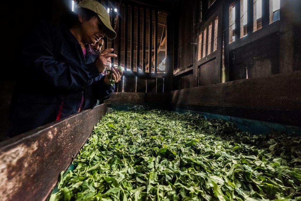 New Inca Trail to Machu Picchu, Carcel Trek - Tea leaves for production