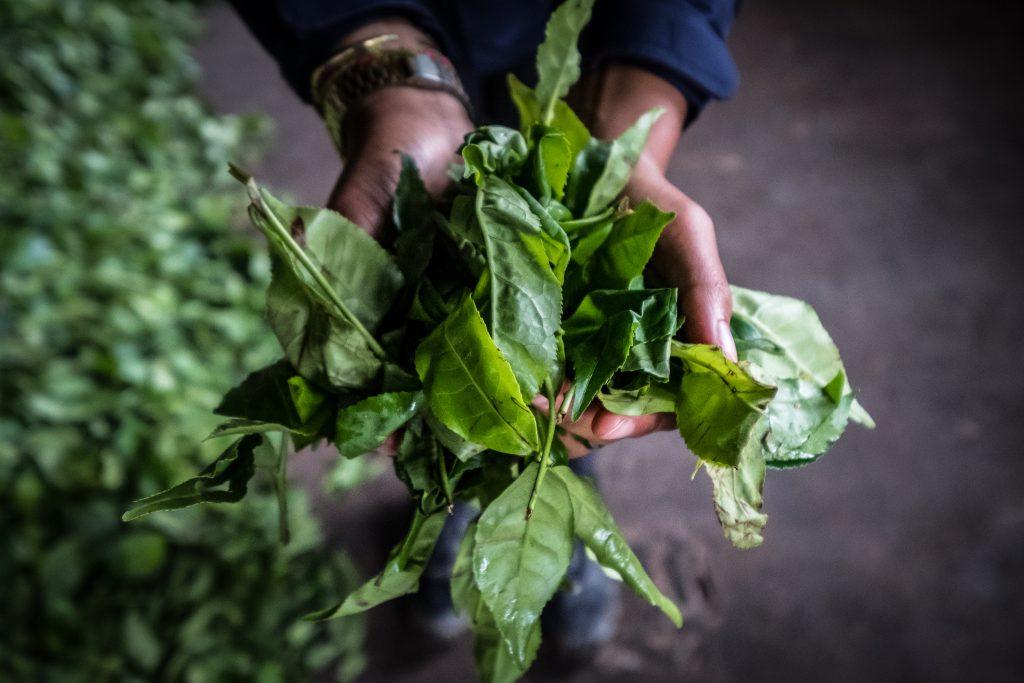 New Inca Trail to Machu Picchu, Carcel Trek - Tea leaves